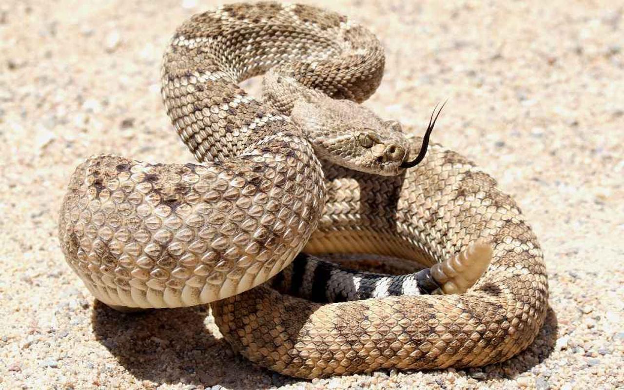виды картинки на обои гремучей змеи описание как делаются