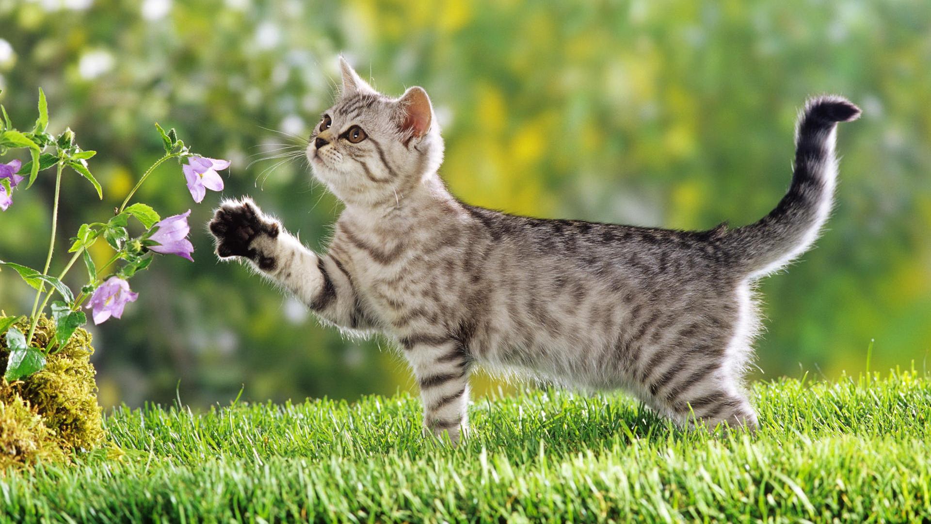 Красивая персикового цвета кошка, обои с кошками 6