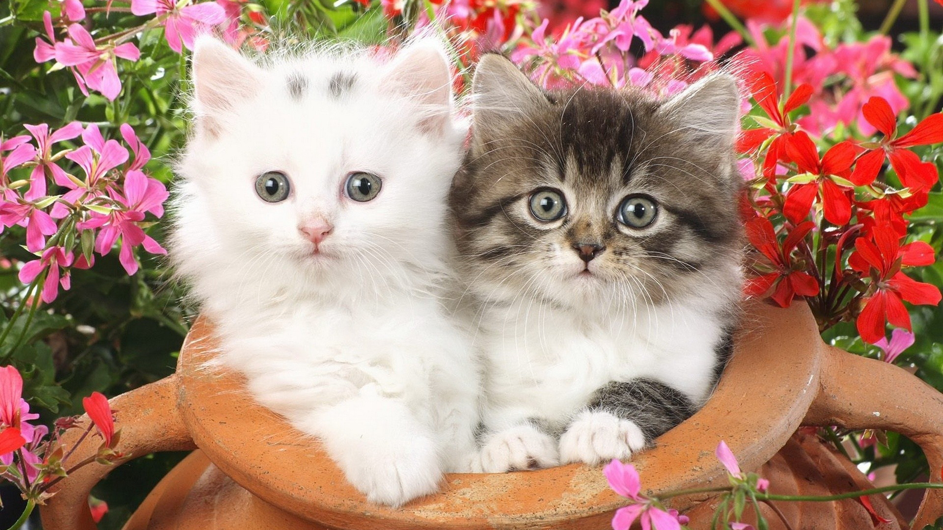 Красивая персикового цвета кошка, обои с кошками 69
