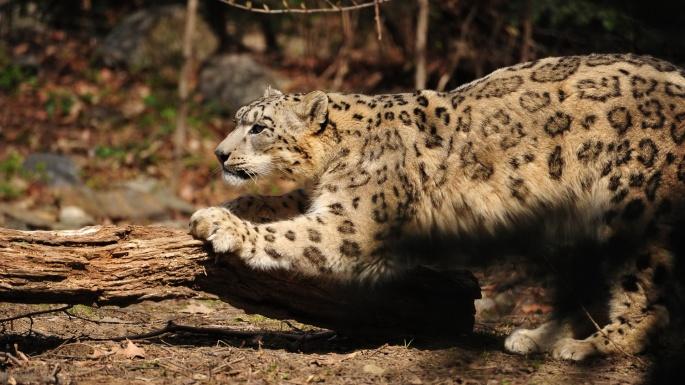 Дикие кошки. Нежный Барсик (50 обоев)