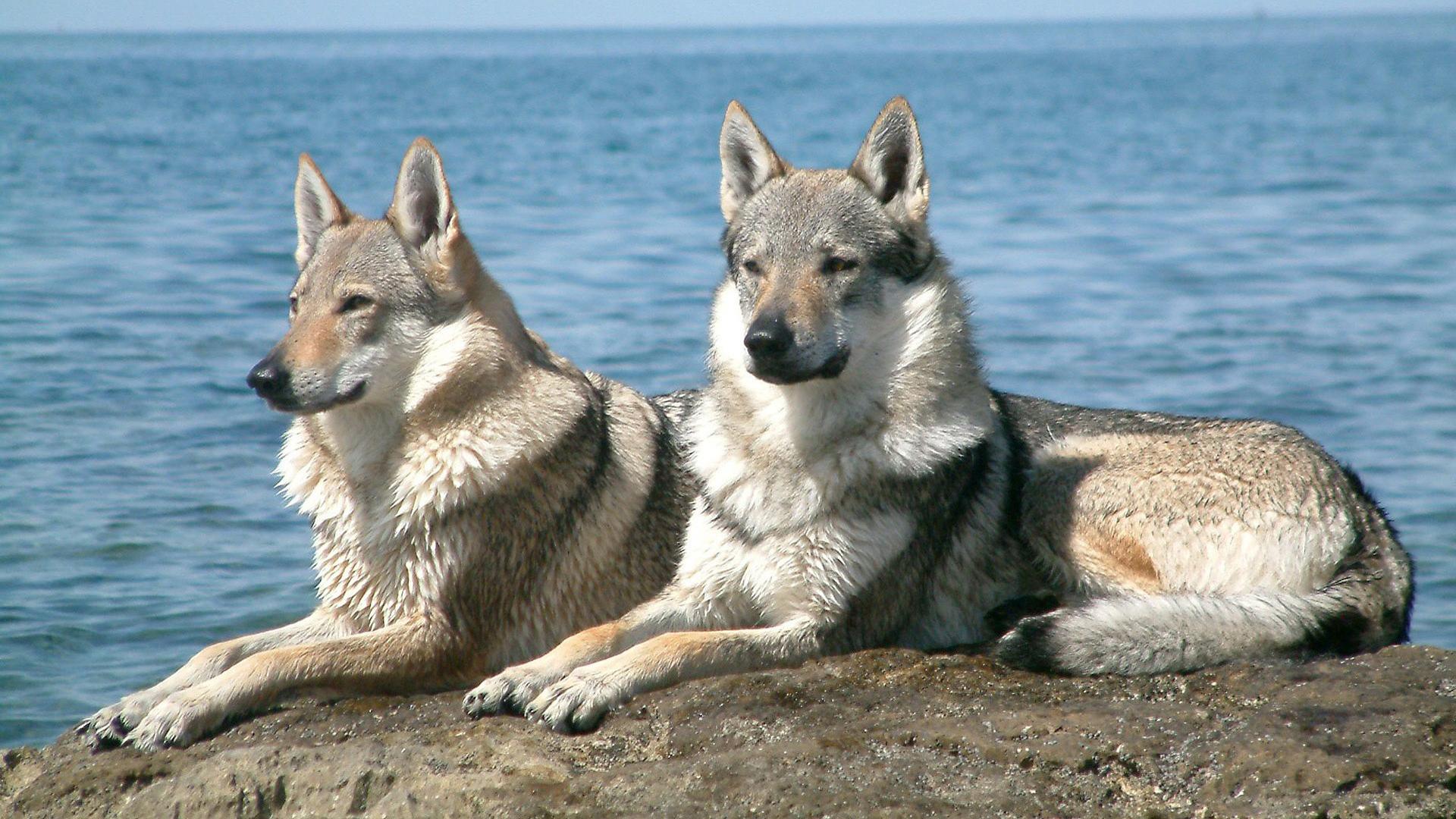 Волки пара обои на рабочий стол