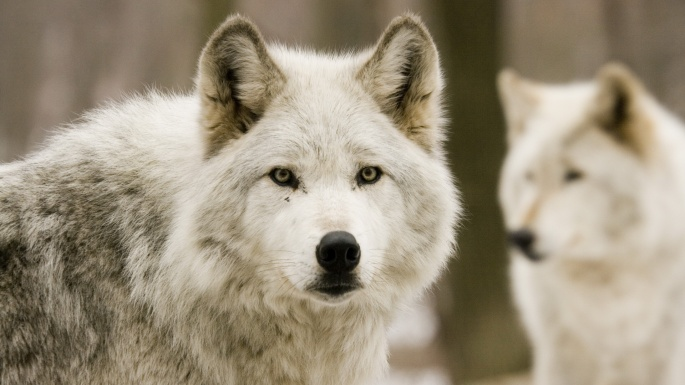 Дикие животные. Я злой и страшный Серый Волк (100 обоев)
