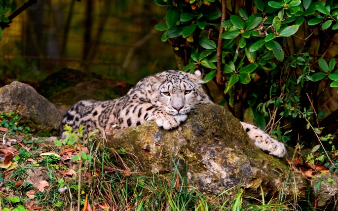 Леопарды (51 обоев)