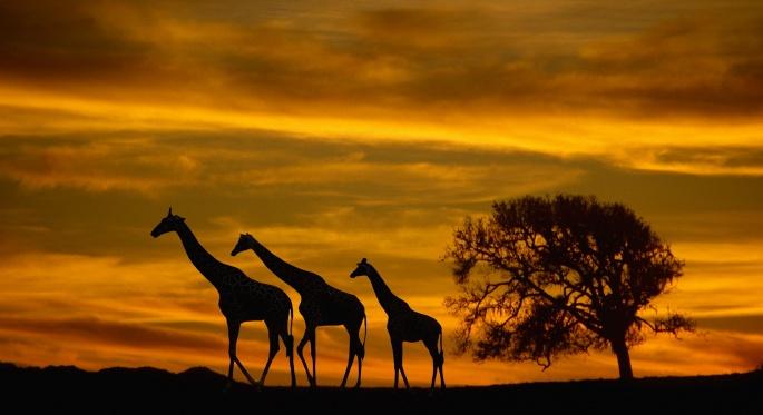Жирафы (51 обоев)