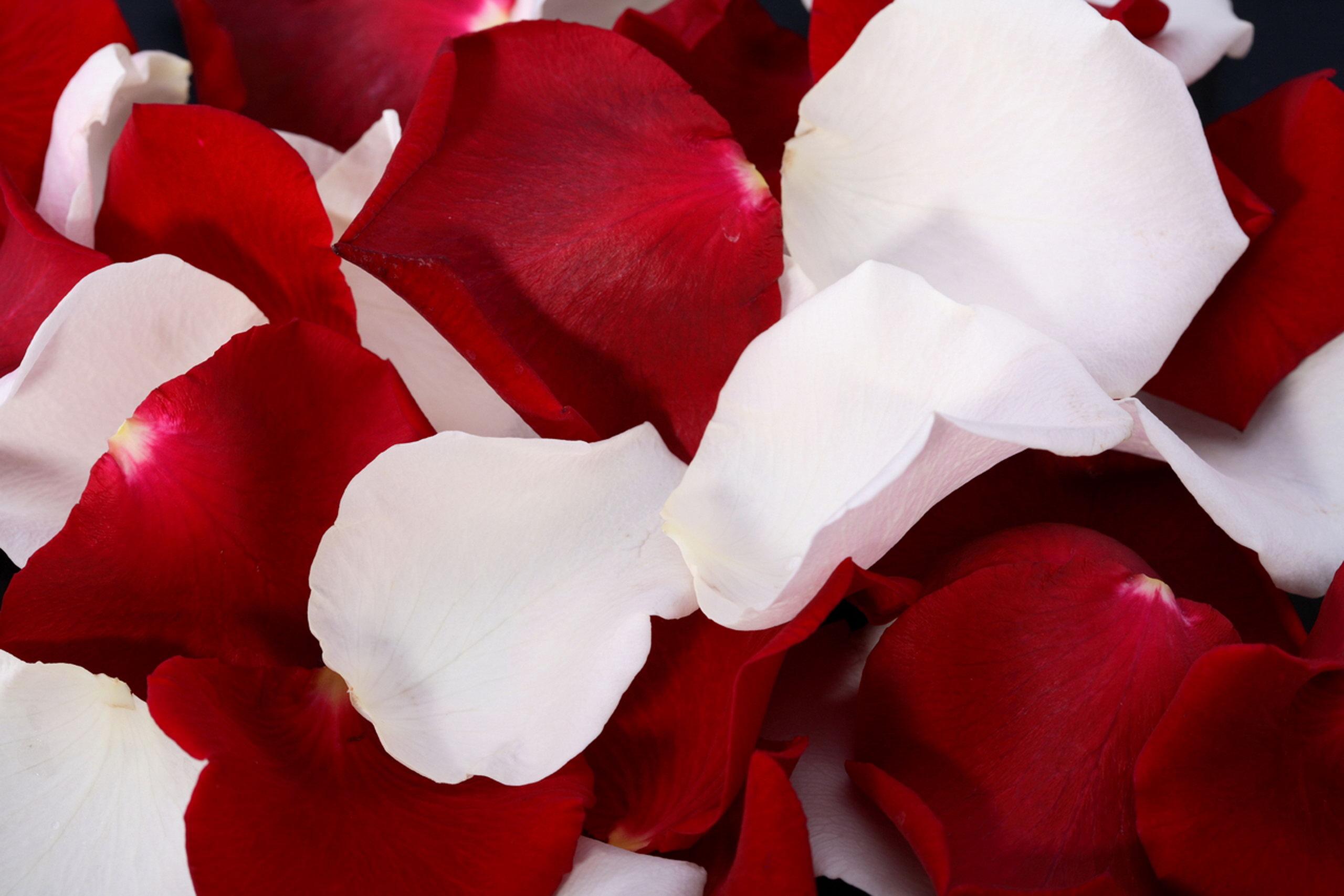 картинки белых роз с лепестками роз телевидение последнее