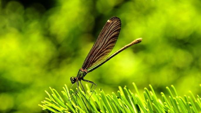 Насекомые. Попрыгунья-стрекоза (60 обоев)