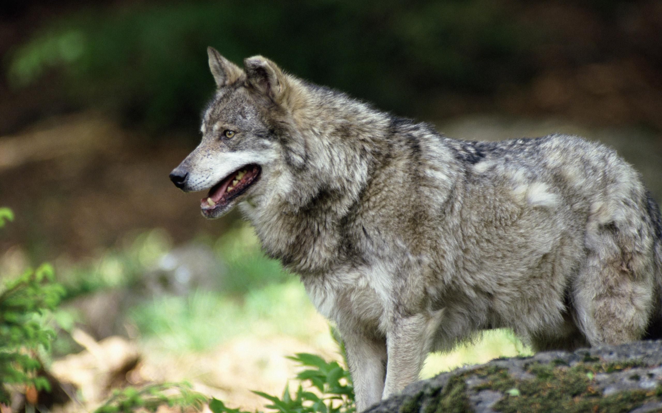 шикарные фото русских волков это документ