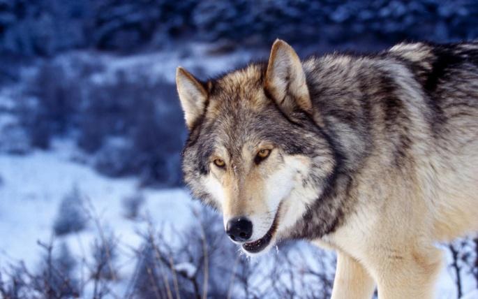 Волки 3 (75 обоев)