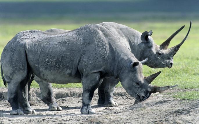 Гиппопотамы и Носороги (56 обоев)