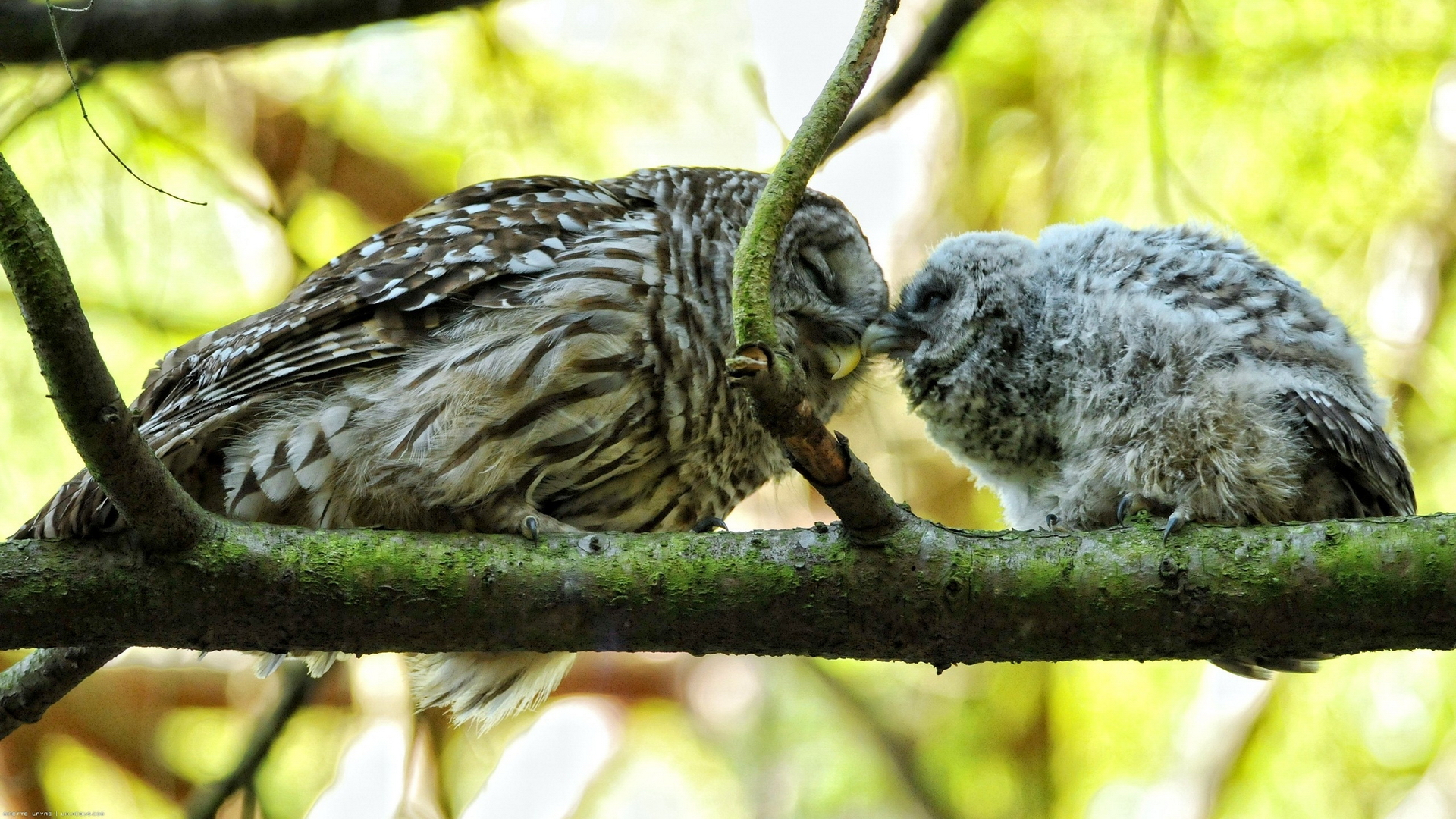 фото совы на обои