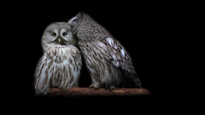 Птицы. Совы. Пугающая бессонница (100 обоев)