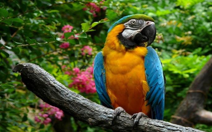 Попугаи Аро (81 обоев)