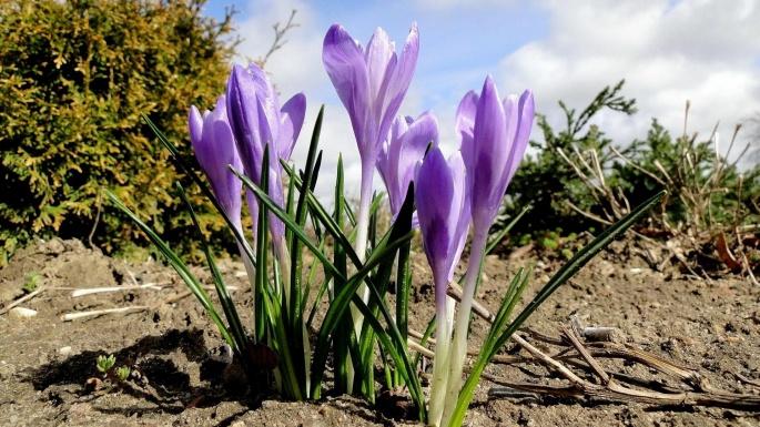 Крокусы. В локонах весны (50 обоев)