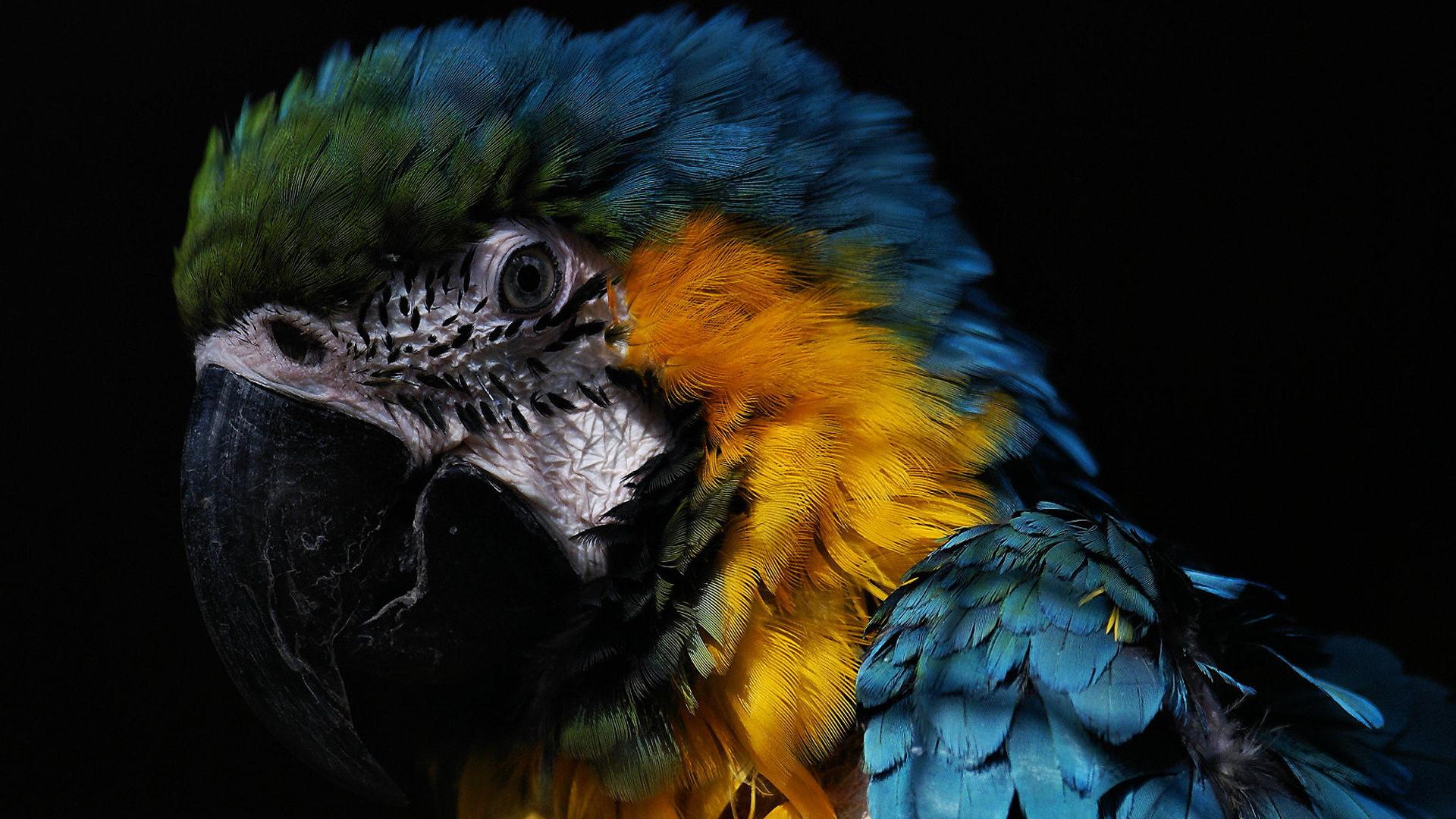 Птицаговорун отличается умом и сообразительностью