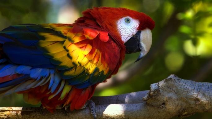 Птицы. Попугаи. Птица-говорун. Отличается умом и сообразительностью (45 обоев)