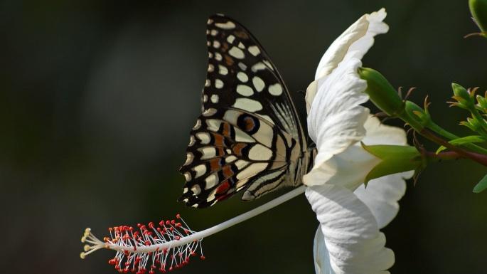 Насекомые. Бабочки-красавицы (70 обоев)