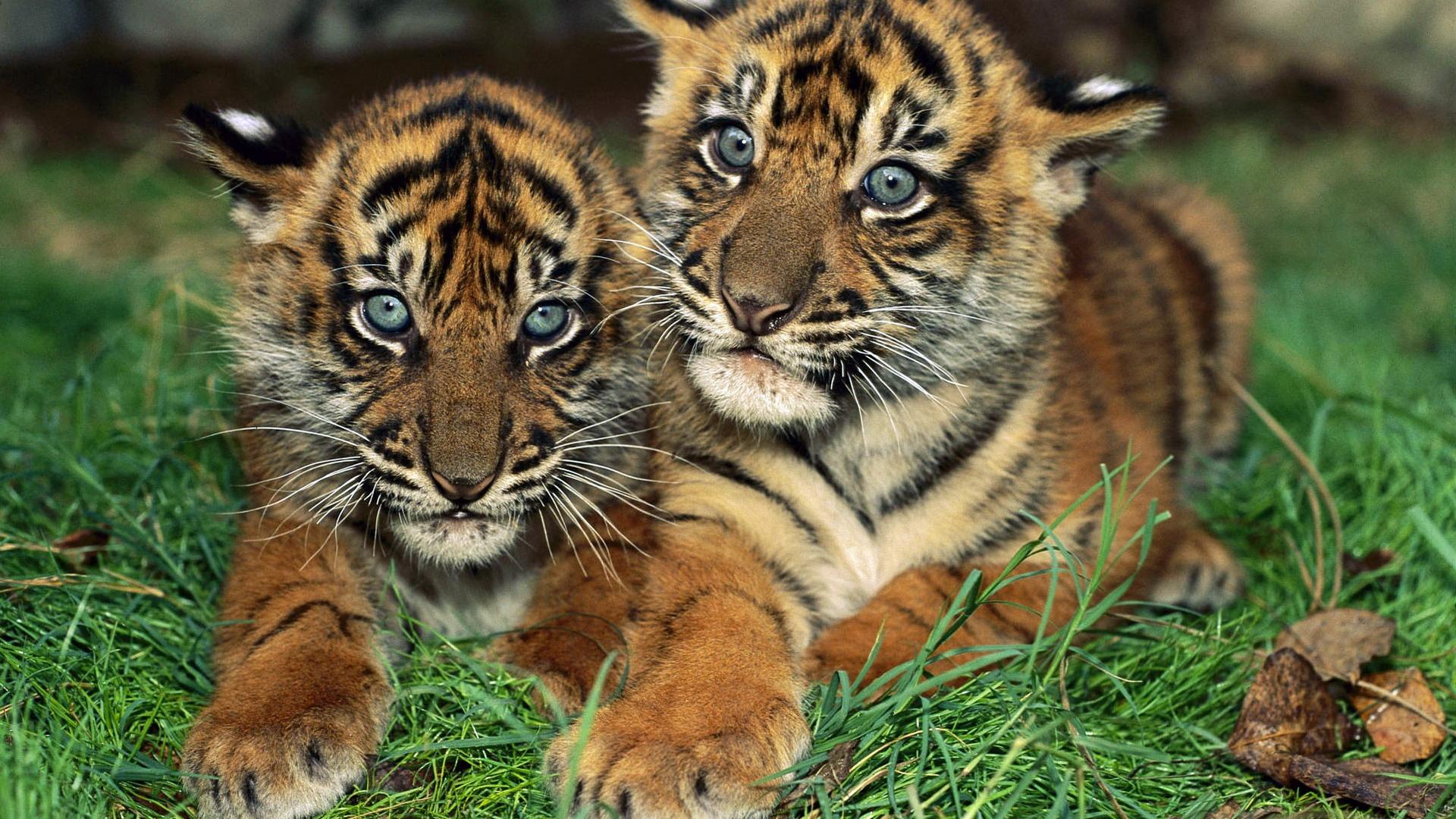 Baby blue tiger