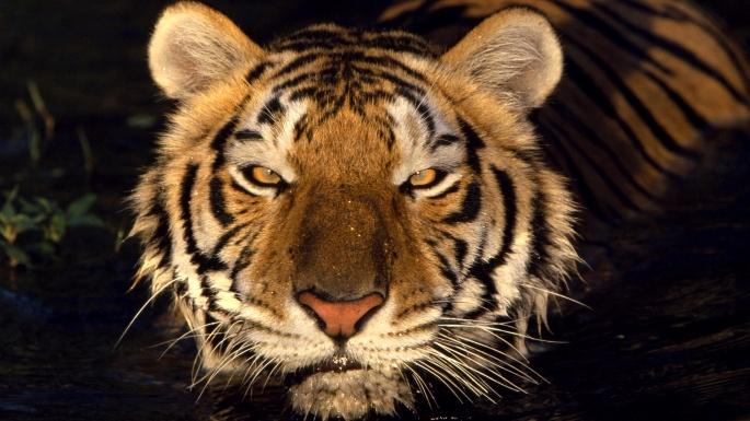 Дикие кошки. Тигры (100 обоев)