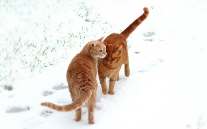Кошки (77 обоев)
