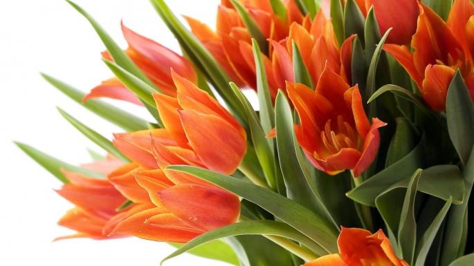 Цветы. Фанфан - тюльпан (50 обоев)