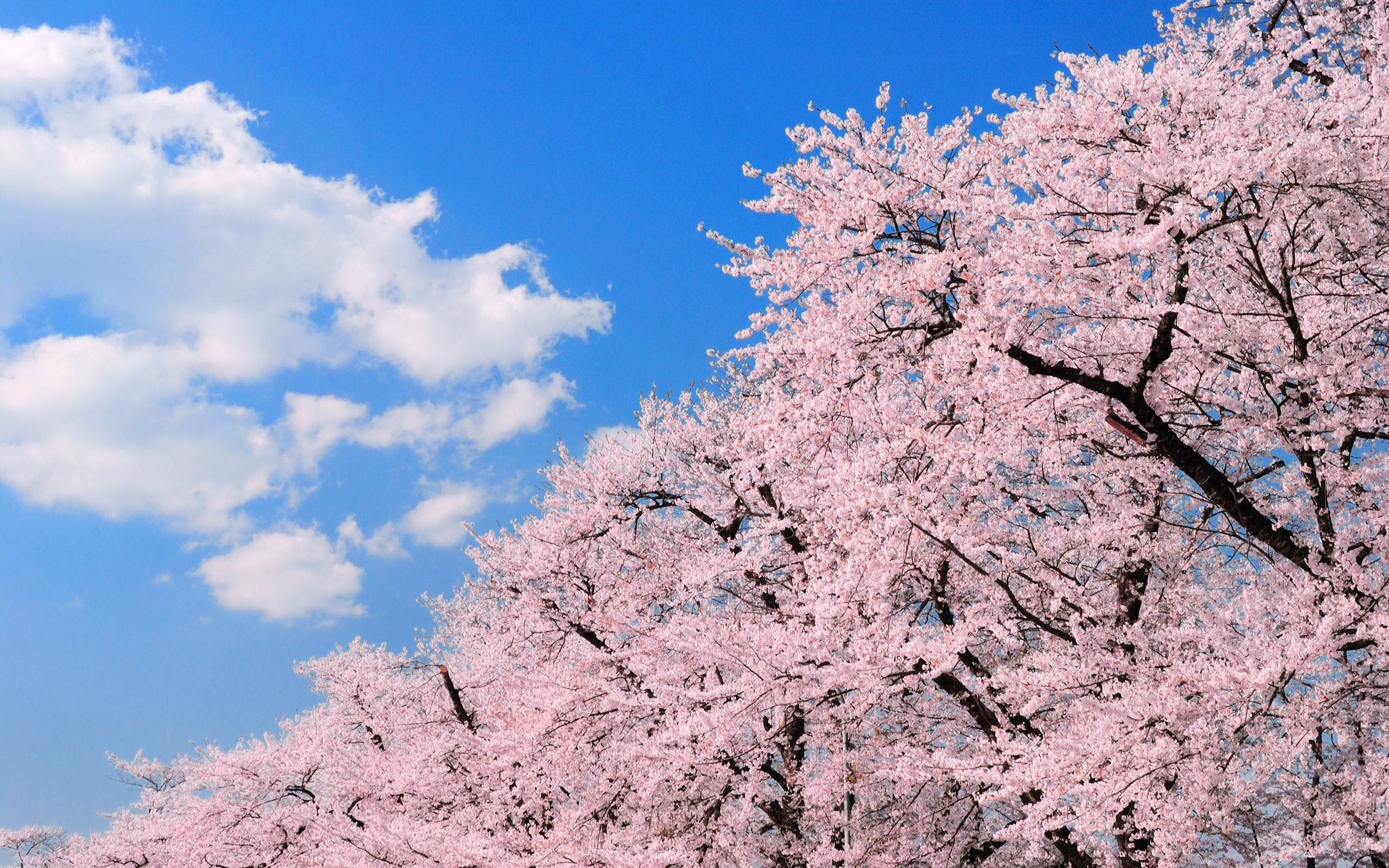 обои для рабочего стола весна япония № 60182  скачать