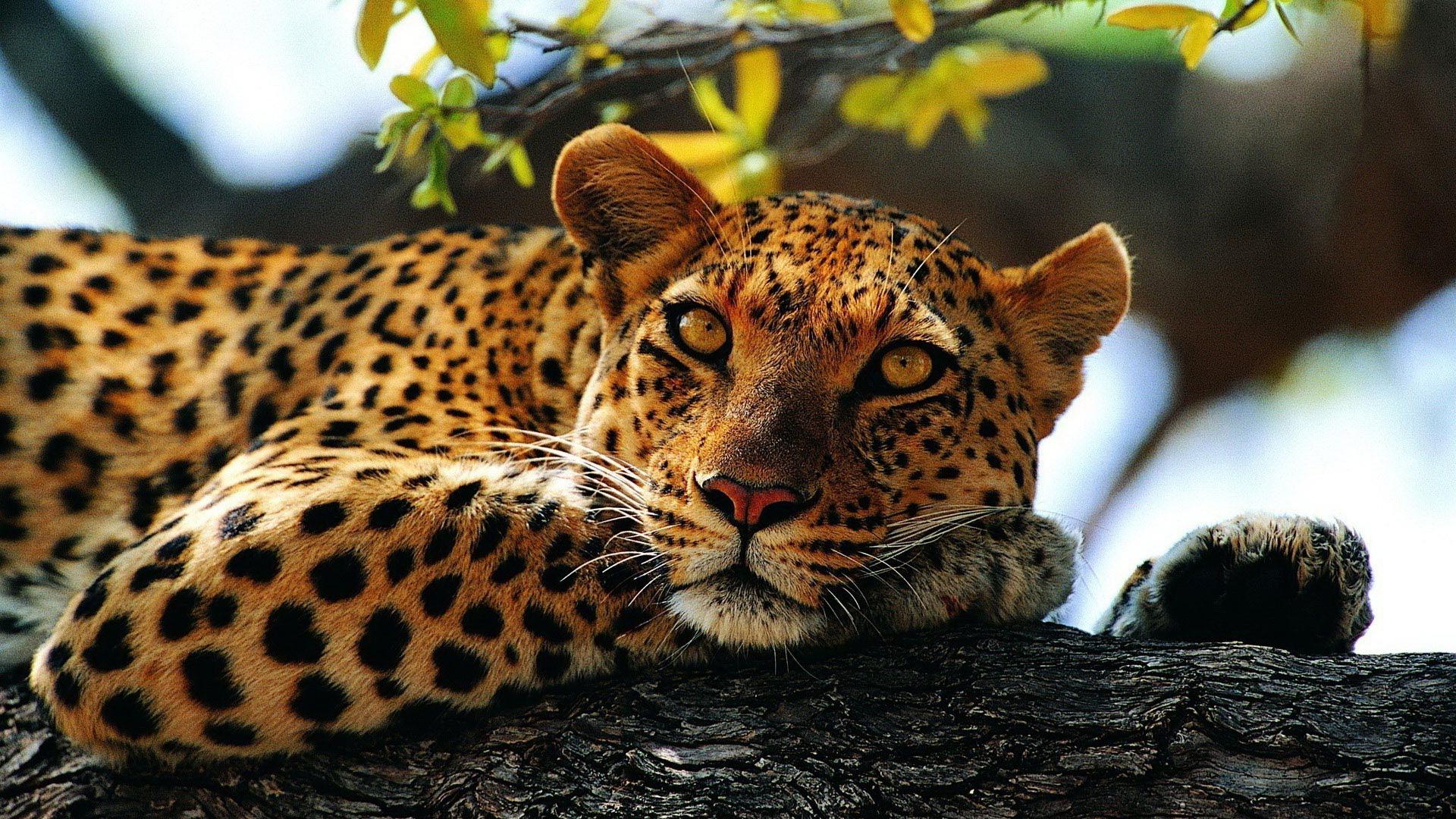 Леопард обои на рабочий стол широкоформатные