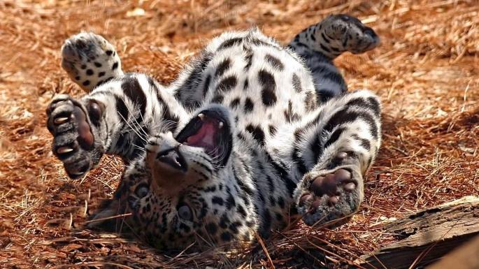 Дикие кошки. Запятнанная репутация (100 обоев)