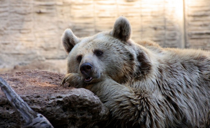 Медведи бурые 3 (70 обоев)