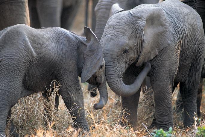 Слоны (85 обоев)