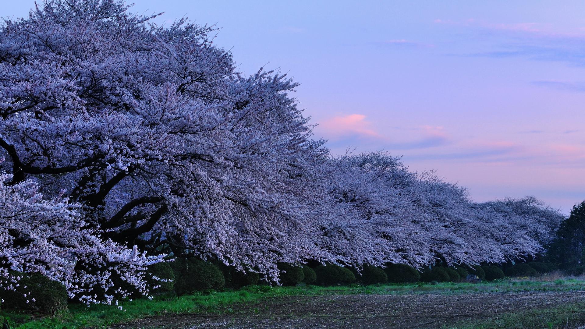 Обои на стену с цветущей сакурой и вишней в интерьере