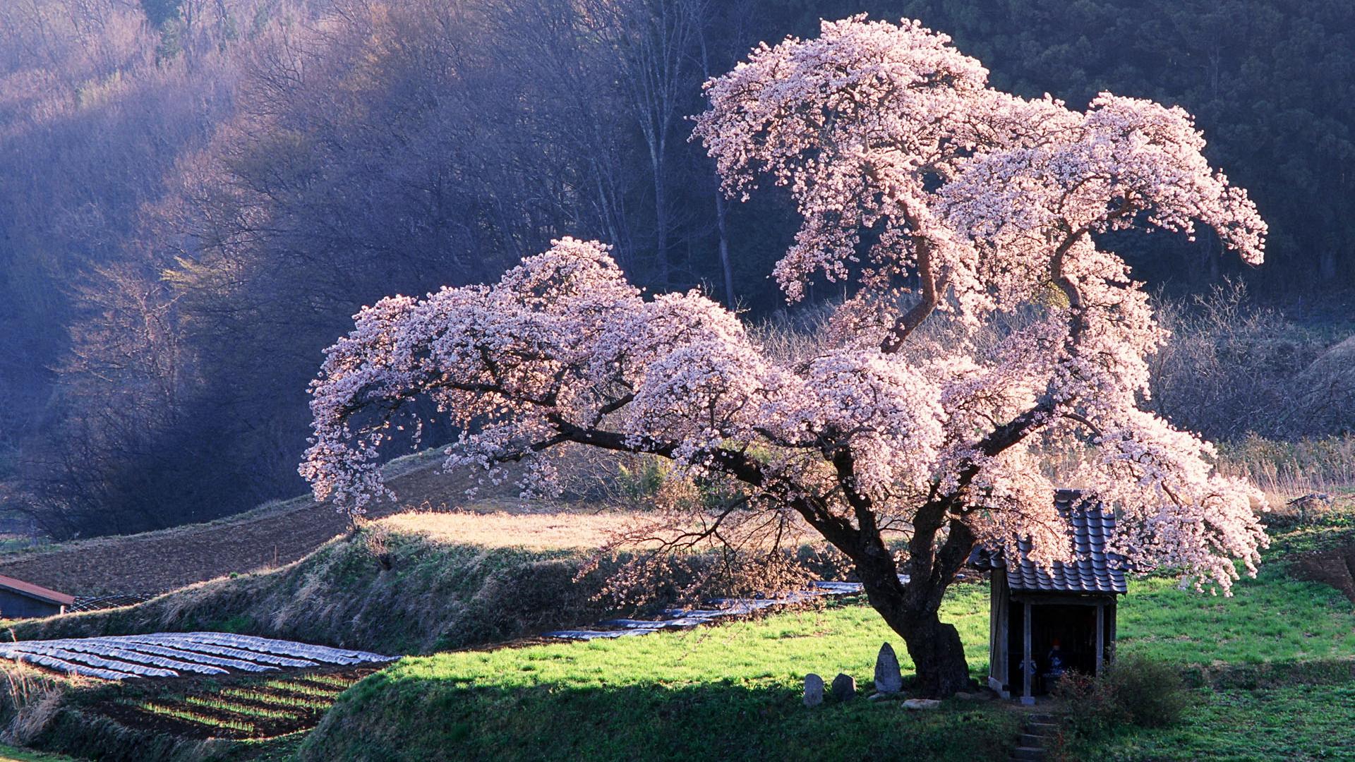 обои для рабочего стола весна япония № 60168 загрузить
