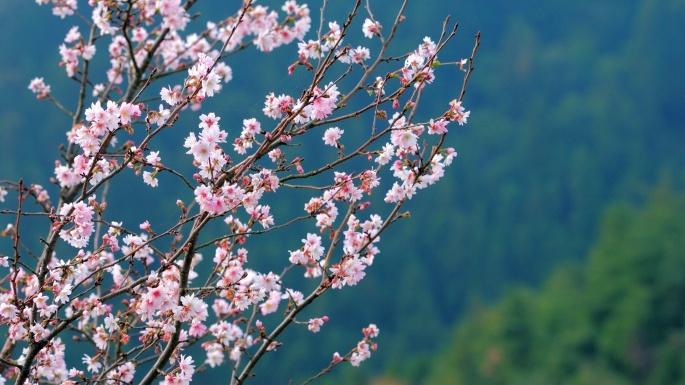 Япония в деталях цветение сакуры