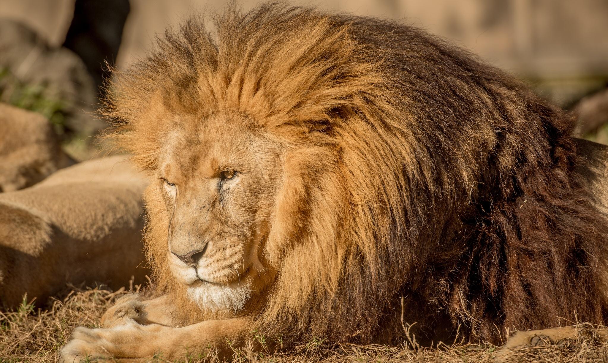 фото львы на рабочий стол