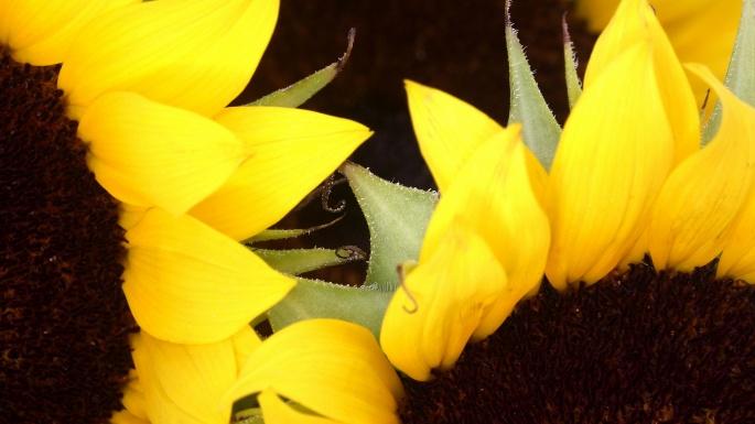 Цветы. Подсолнухи. Солнечный круг, небо вокруг (100 обоев)