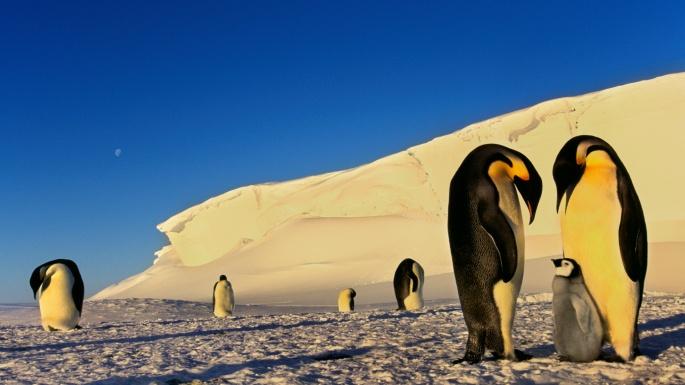 Птицы. Пингвины. Я не глупый и не прячусь (35 обоев)