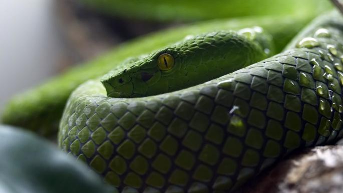 Рептилии. Змей-искуситель (55 обоев)