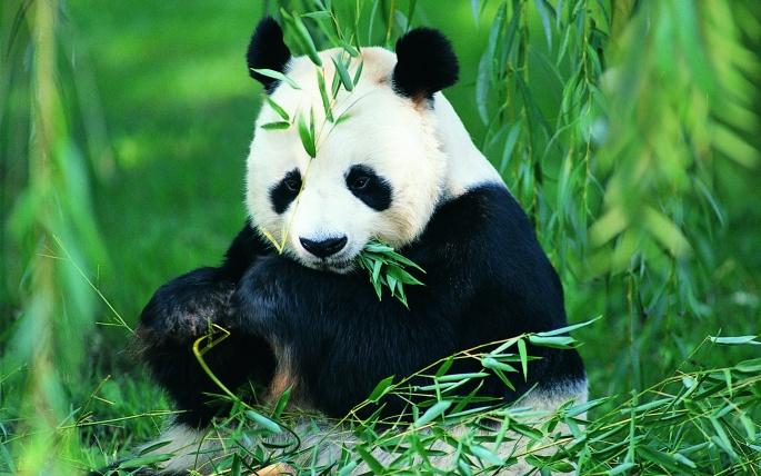 Панды (60 обоев)