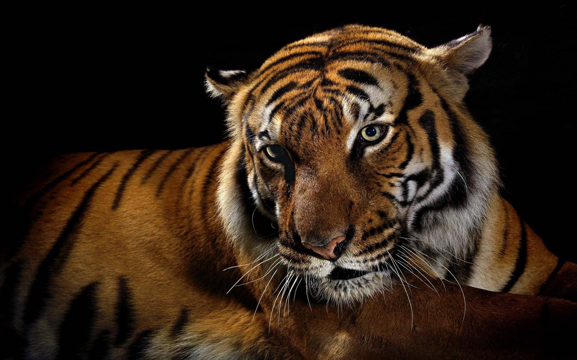 исконно для рабочего стола с тигром картинки двигающиеся можно передавать