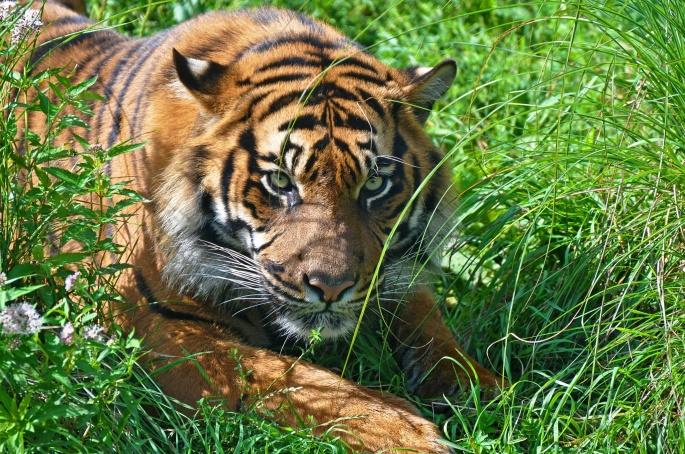 Тигры 5 (55 обоев)