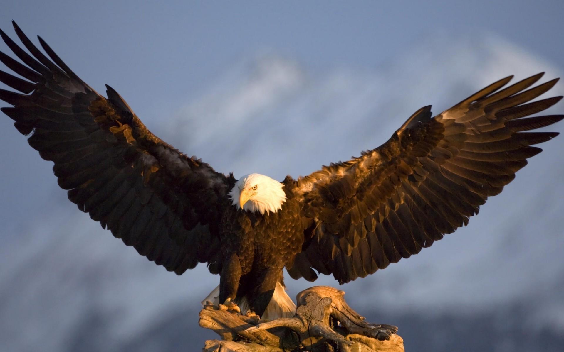 собрать орел обои на стол большинства луковичных