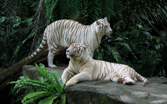 Белый тигр. White Tiger (60 обоев)