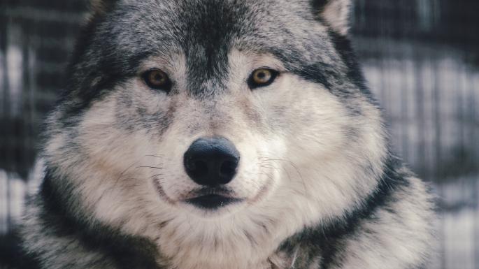 Волки (91 обоев)