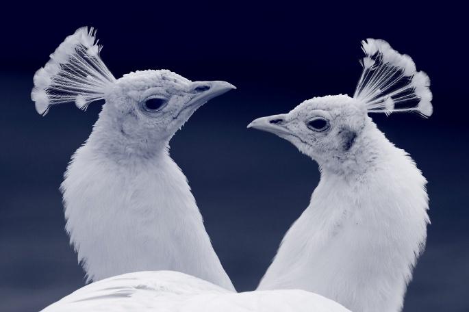 Павлин. Peafowl (60 обоев)