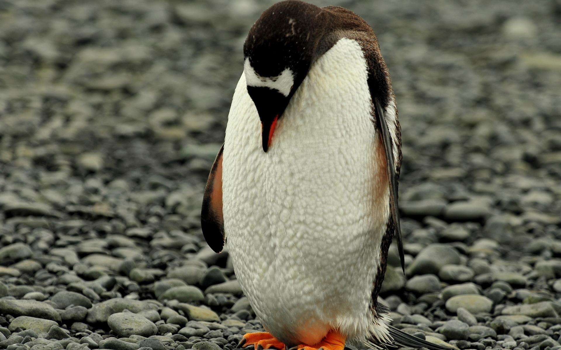 узнал грустный пингвин картинка светло-русым