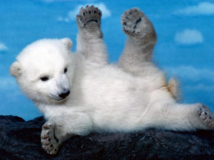 Полярный медведь. Polar Bear (60 обоев)