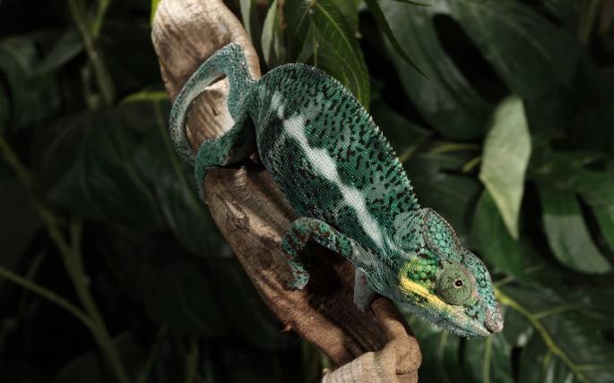 Хамелеон. Chameleon (60 обоев)