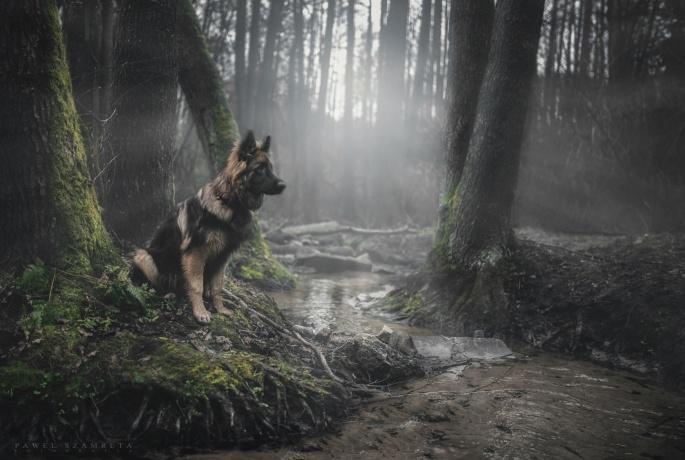 Немецкая овчарка (55 обоев)