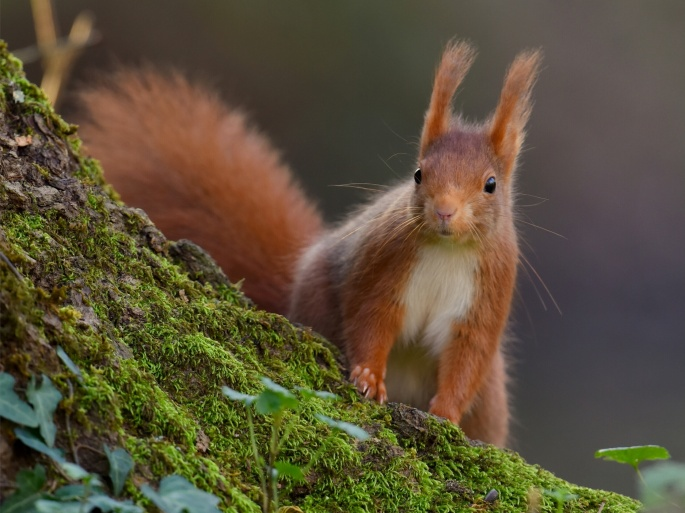 Белки. Squirrel (64 обоев)