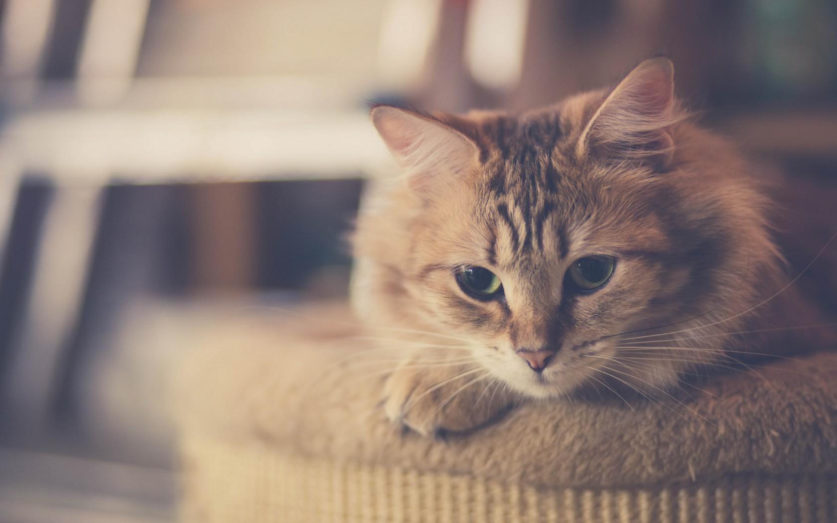 Красивые Кошки Фото На Рабочий Стол