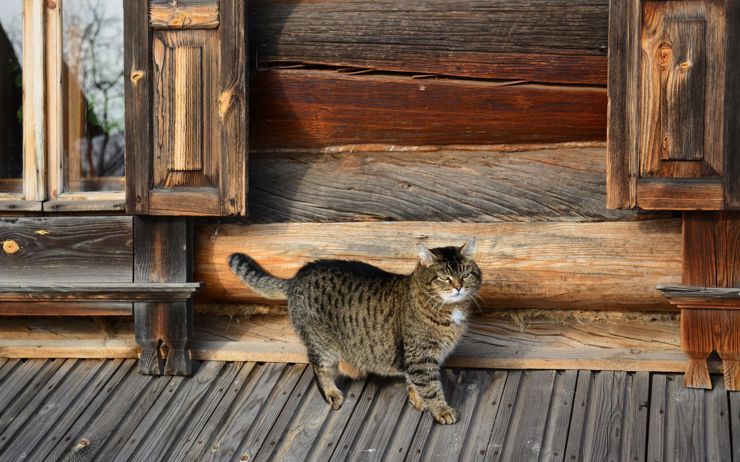 обои для рабочего стола кота русского № 610773  скачать